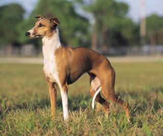 Grey Hound Dog Pictures