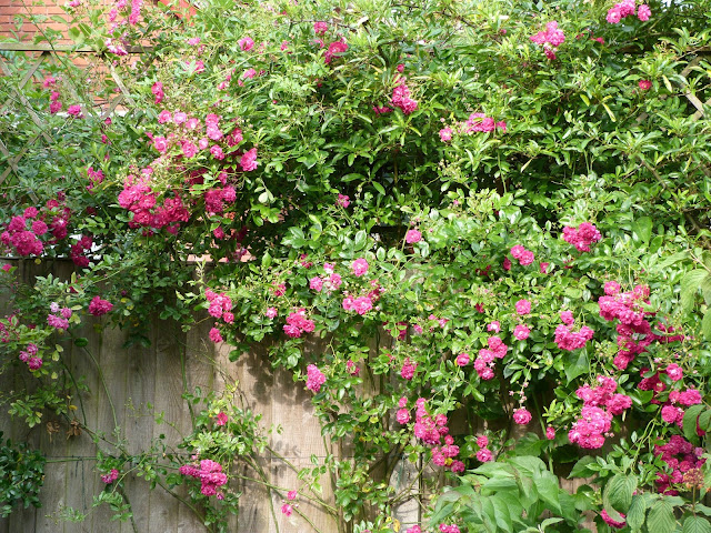 Rambling rose super helexa