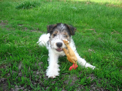 Fox Terrier Puppies Pictures