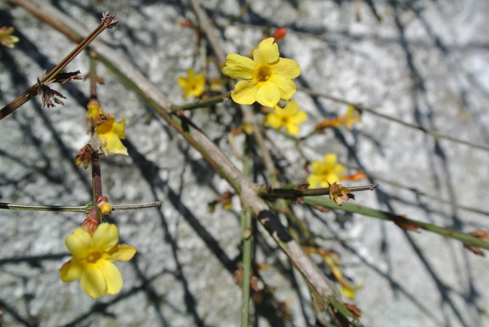{ La pianta del mese: Jasminum nudiflorum }