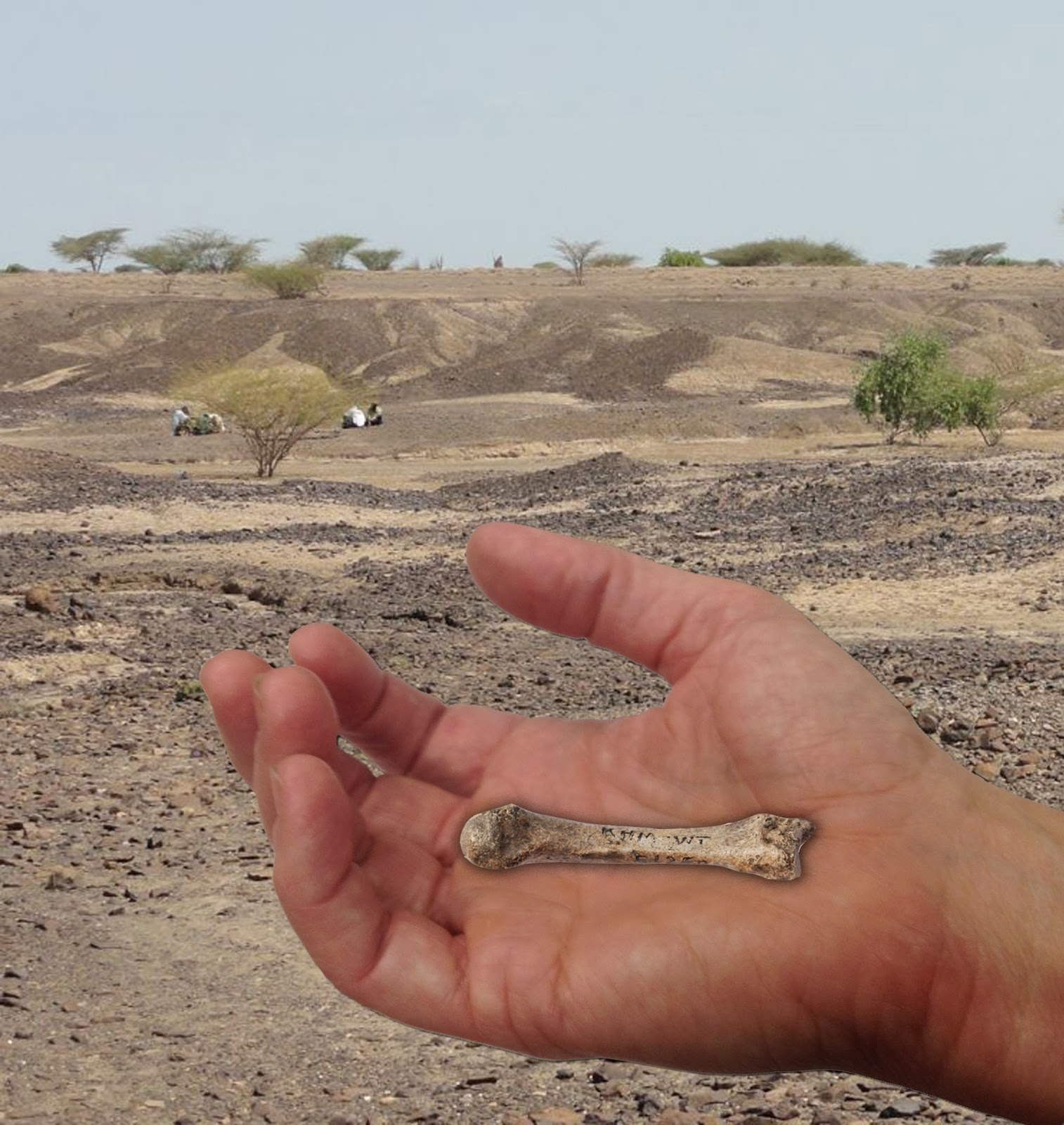 1.4 million-year-old fossil human hand bone closes human evolution gap