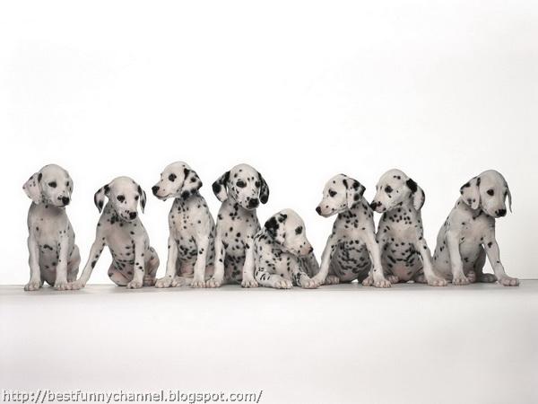 Eight cute Dalmatian puppies.