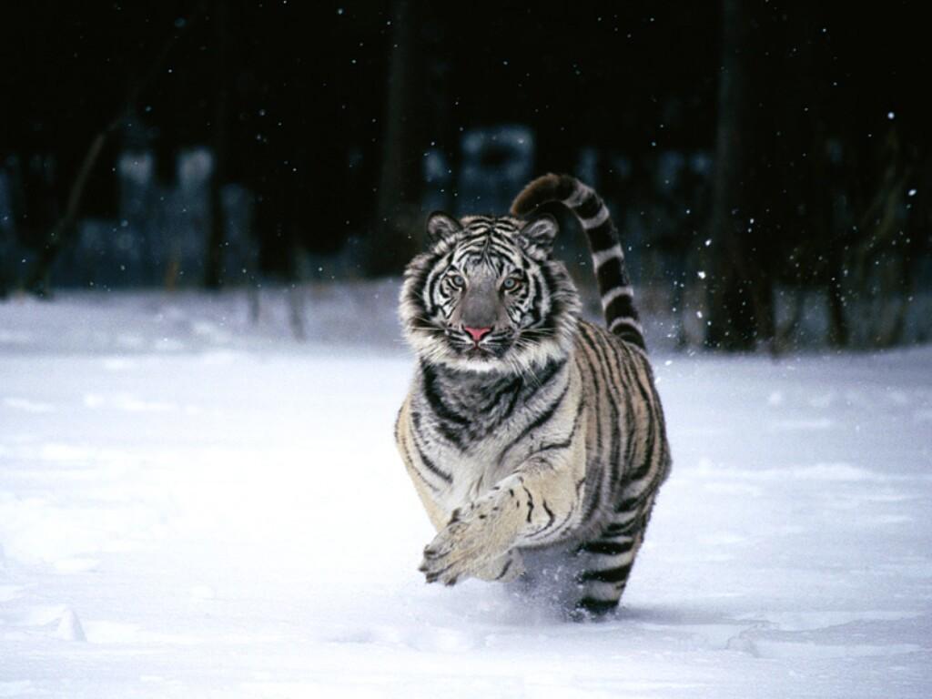 http://3.bp.blogspot.com/-Ffax-JwGolA/TmboUZy5ruI/AAAAAAAABrE/C7Q6lzPbLpE/s1600/snow-white-tiger-animal.jpg