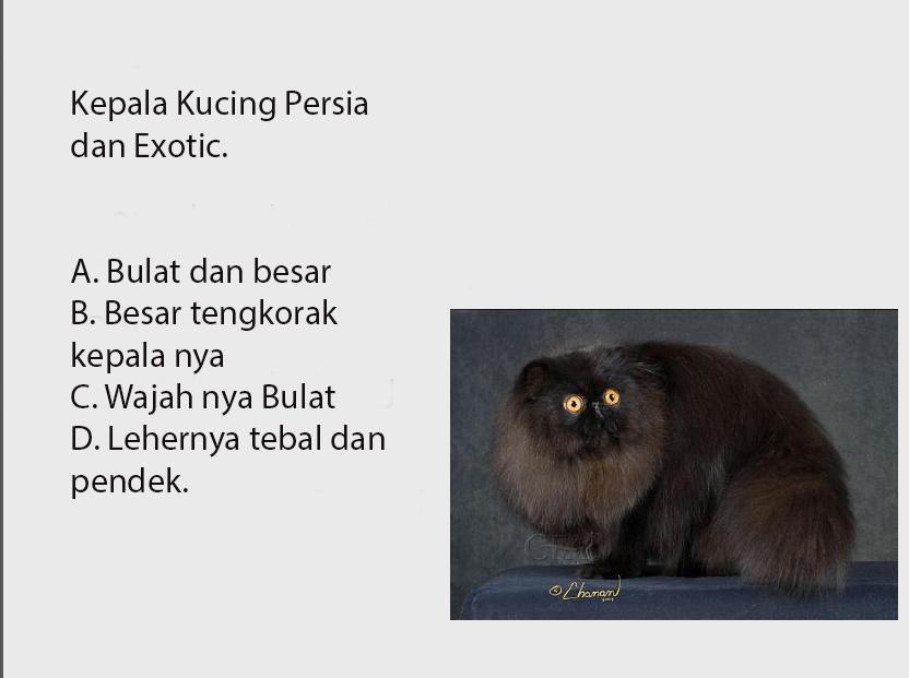 bentuk kepala kucing exotic dan persia