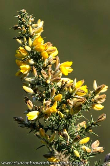 Gorse, a pretty pest on the Wairoa Rd photograph