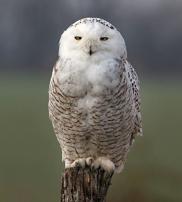 Snowy owl cramlington - 81e4