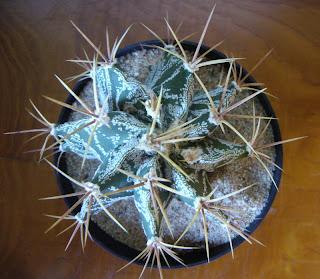 planta suculenta Astrophytum ornatum