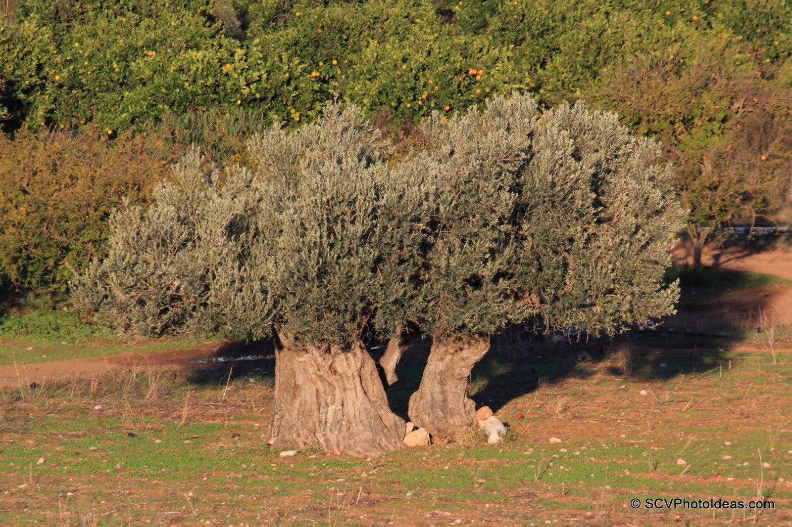 Ancient Olive with split trunk