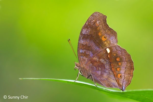 An adult Chocolate Pansy taking up its position on a leaf.