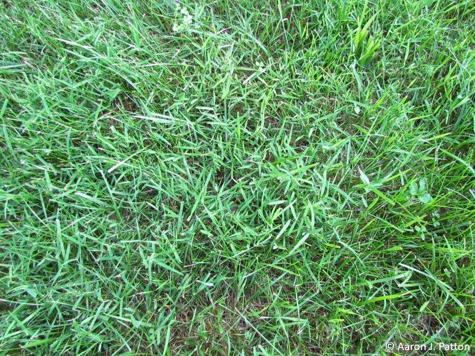 Purdue Turf Tips Weed Of The Month For September 2013 Is
