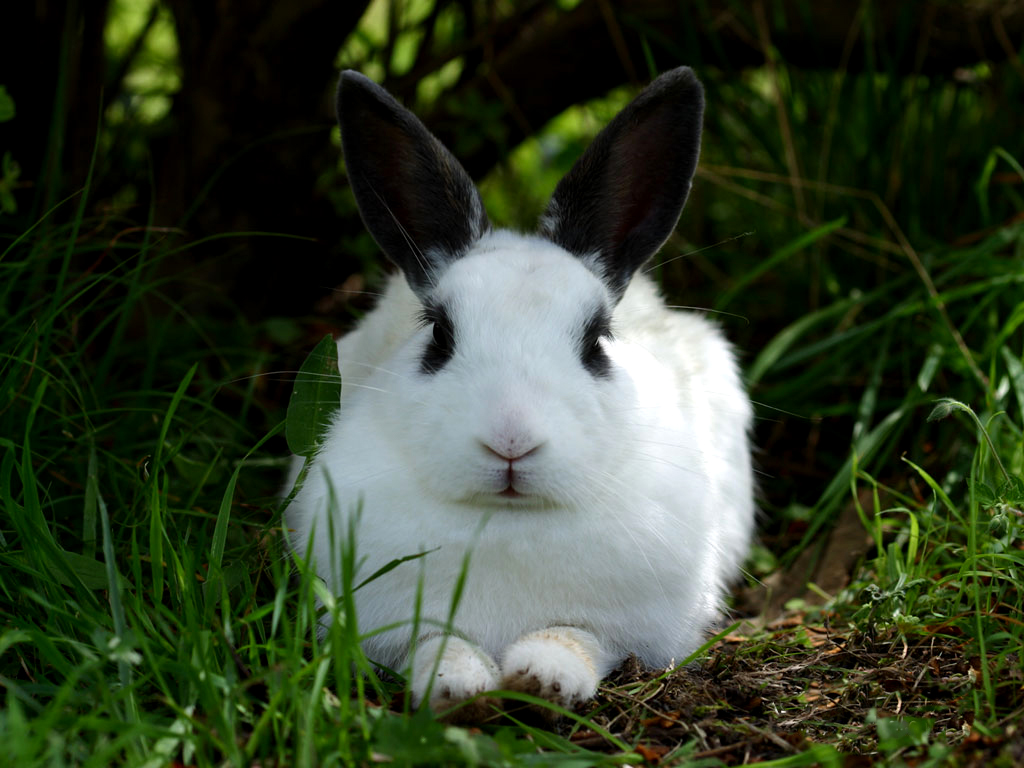 rabbit wallpapers fun animals wiki videos pictures