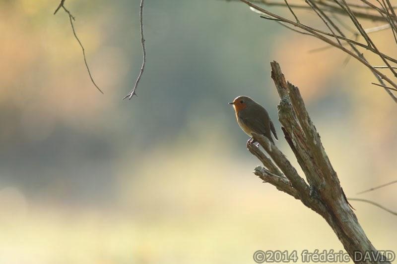 oiseau rouge-gorge automne forêt Fontainebleau