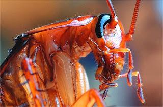 cucaracha ampliada