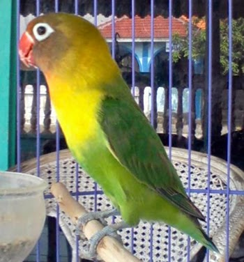 merawat-lovebird-meriam-avc
