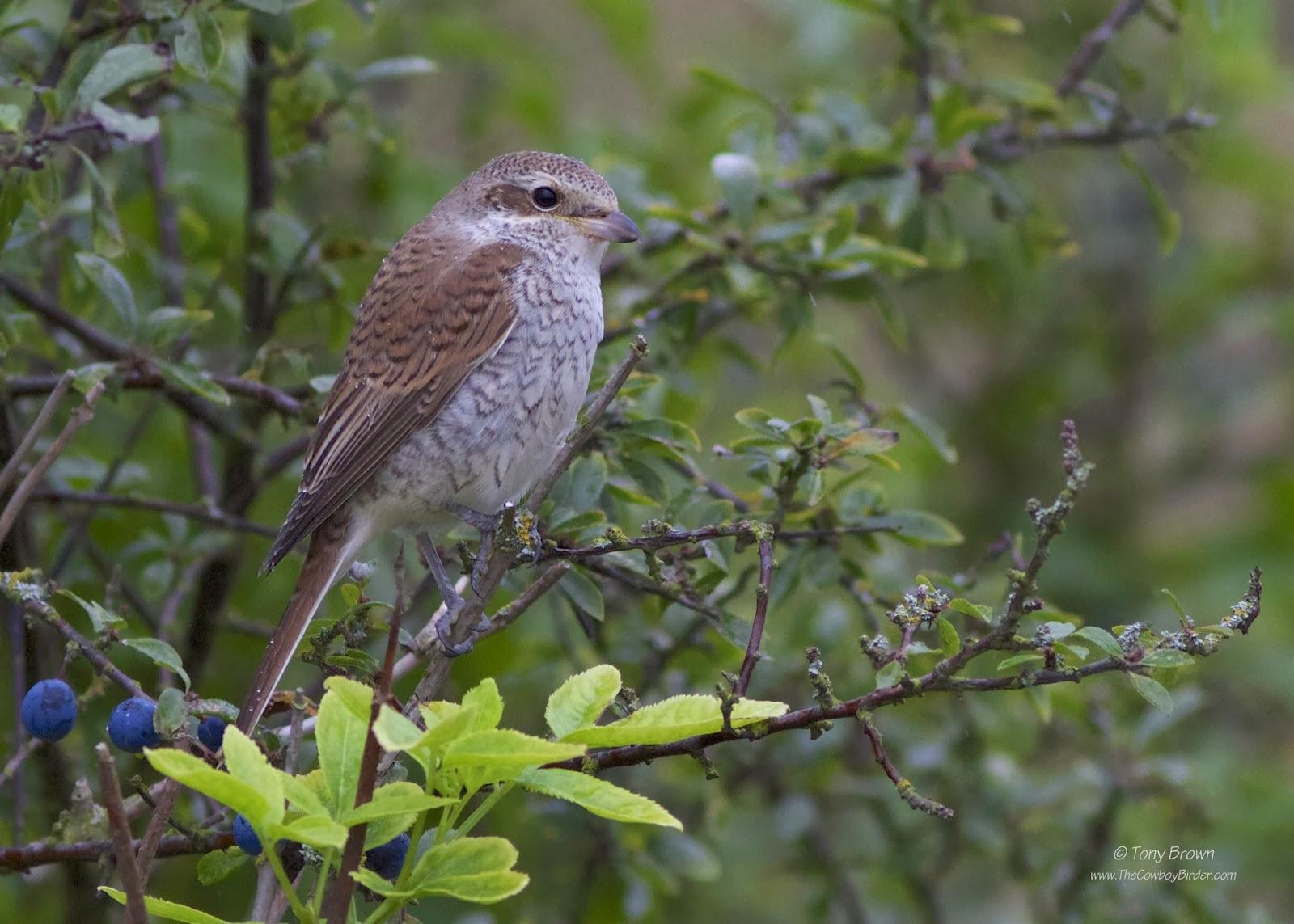 Juvenile, Canvey Island, Essex