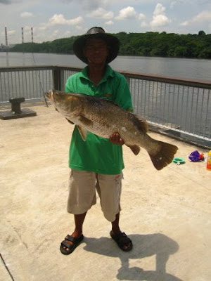 Siakap also know as Kim Bak Lor 金目鲈 or Siakap weighing 5kg plus Caught by Giant At Woodland Jetty.