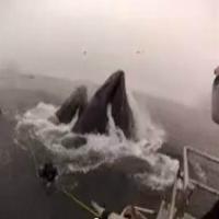 Mergulhador quase é devorado por baleia jubarte