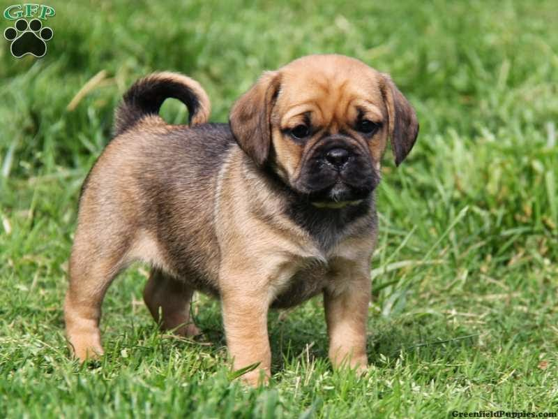 Rules Of The Jungle Puggle Puppies