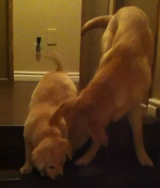 Perro enseña a cachorro a bajar escaleras