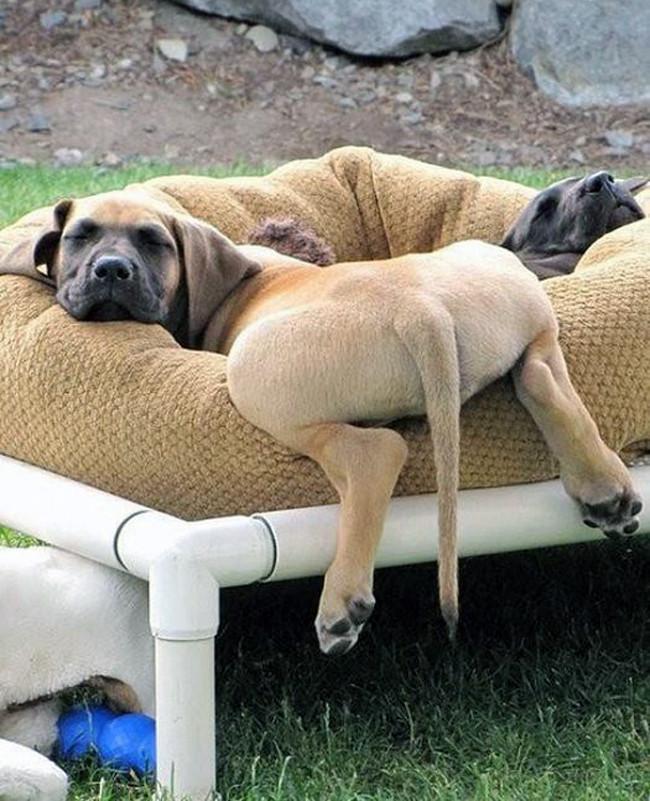 Собаки которые очень устали (14 фото)