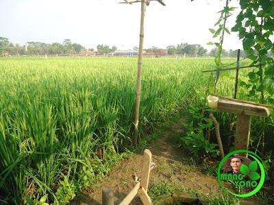 Menikmati pagi yang terasa hangat ketika mentari, bulir-bulir embun berkilauan bak berlian di tangkai-tangkai padi