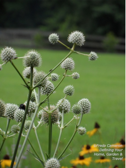 rattlesnake master by Defining Your Home Garden and Travel