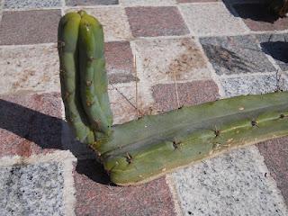 división de cactus