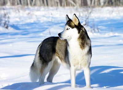 Perro Husky Siberiano en Alaska