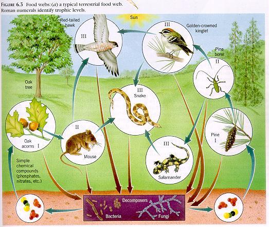 Animal Food Web Diagram