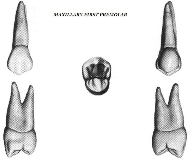 Anatomy Of Maxillary First Premolar