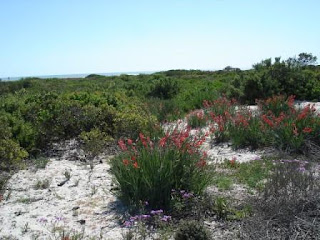West-Coast-Dunes-Flowers-South-Africa