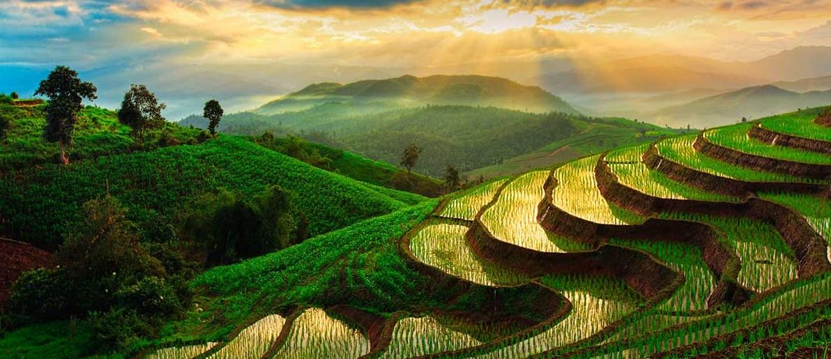 Fotografi Landscape dengan tema Sawah Tropis di Katulistiwa padi