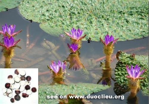 VƯỜN CÂY HOA ĐV I Euryale-seed-%252528Qianshi%252529