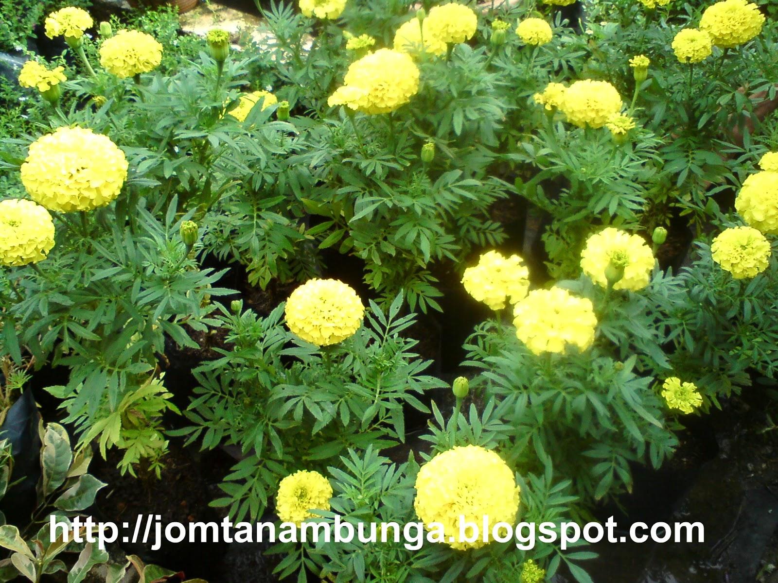 JomTanamBungaBungaTahiAyamMarigoldKeLantanaCamara