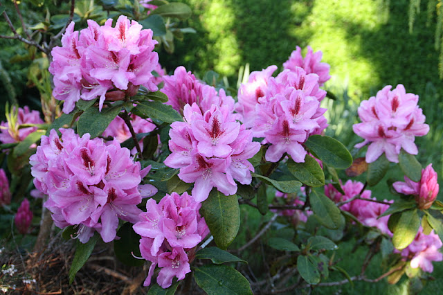 Frk. Anemone: Mine rhododendron