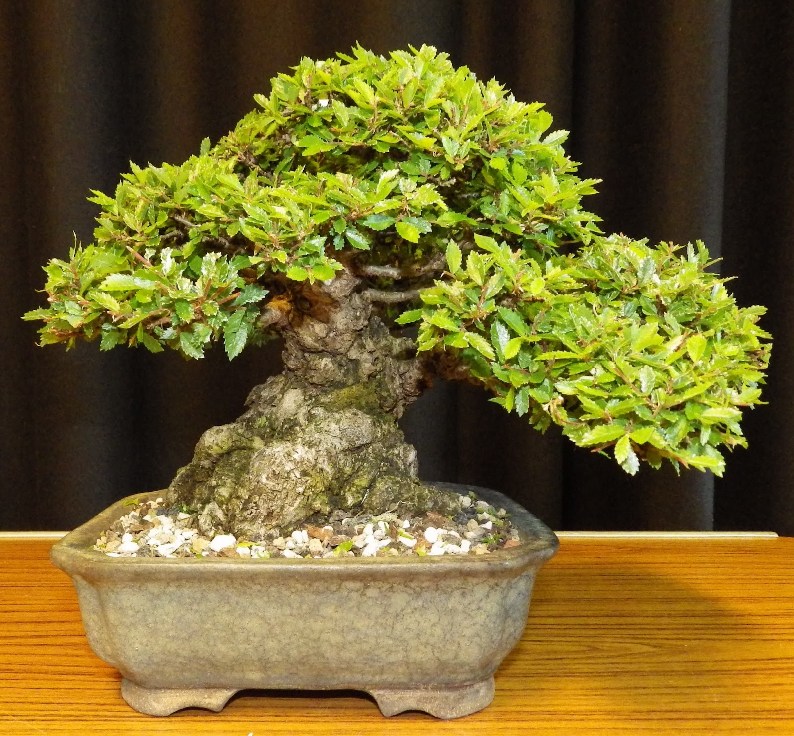Ashfield Bonsai Club June 2013