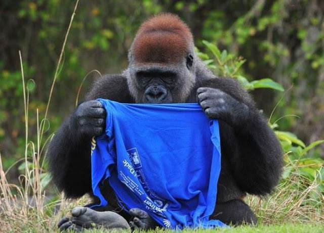 funny gorilla get dressed in t-shirt, funny gorilla photos, gorilla and t-shirt, gorillas pictures