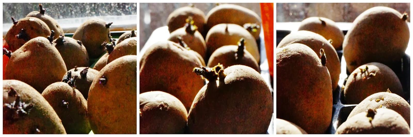 3 different potatoes chitting -  'growourown.blogspot.com' ~ An allotment blog