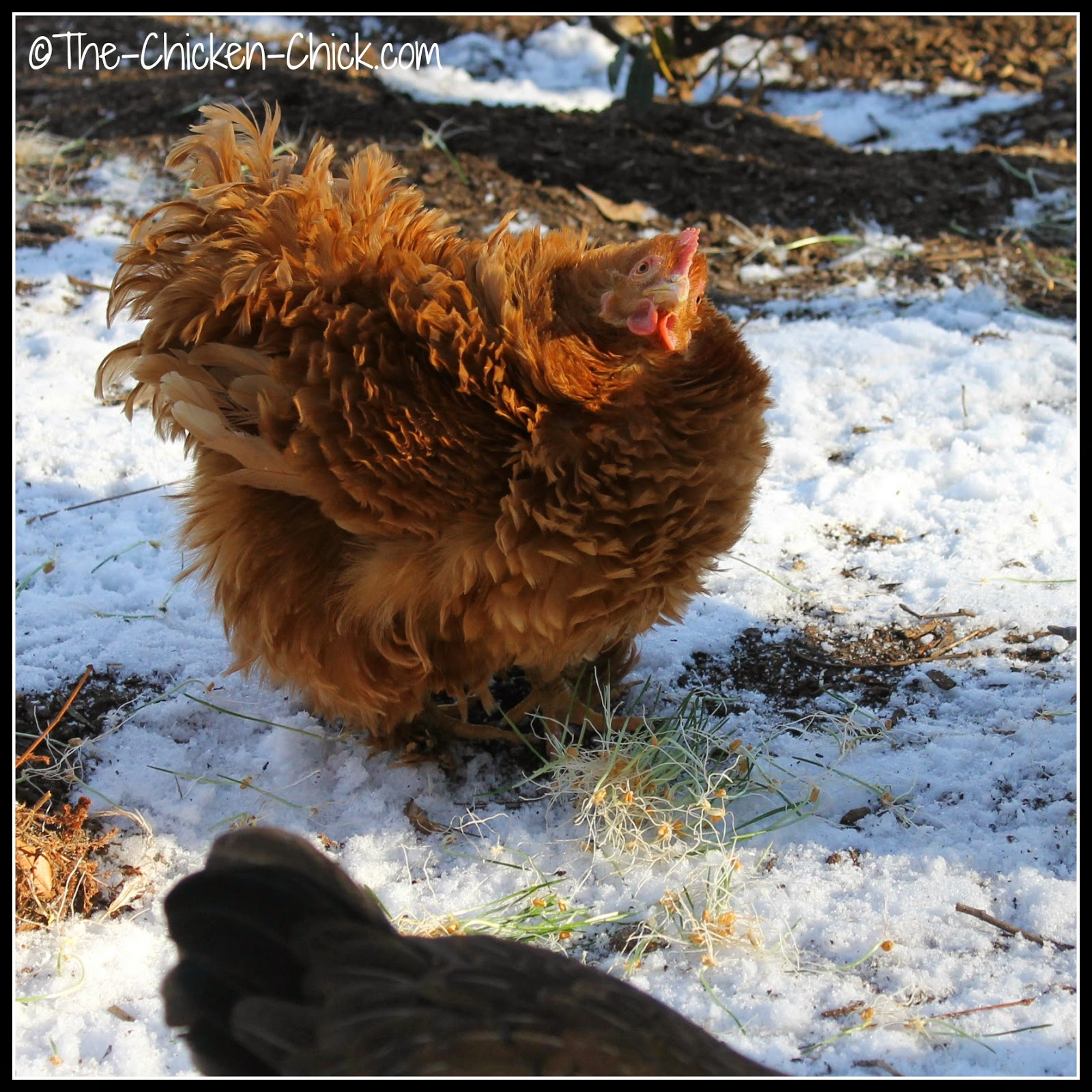 Rachel, my Bantam Cochin Frizzle chicken enjoying some wheat sprouts.