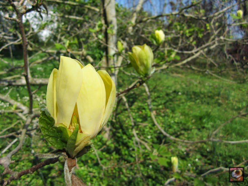 "Magnolia ""Yellow bird"""