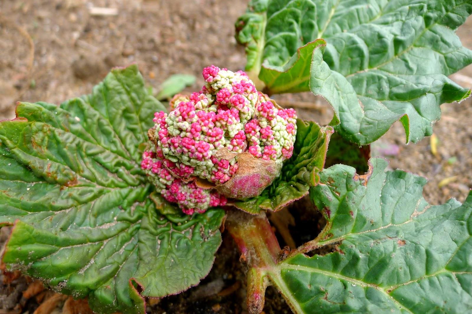Bolting rhubarb