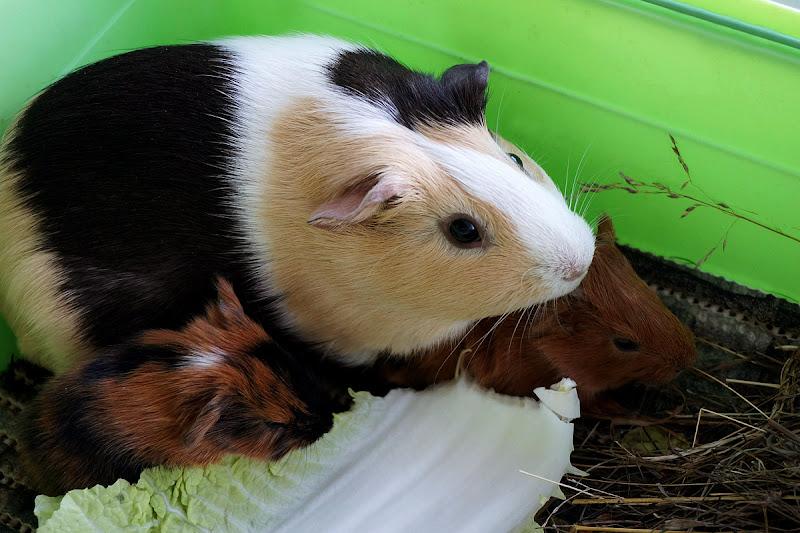 Новорожденные морские свинки.