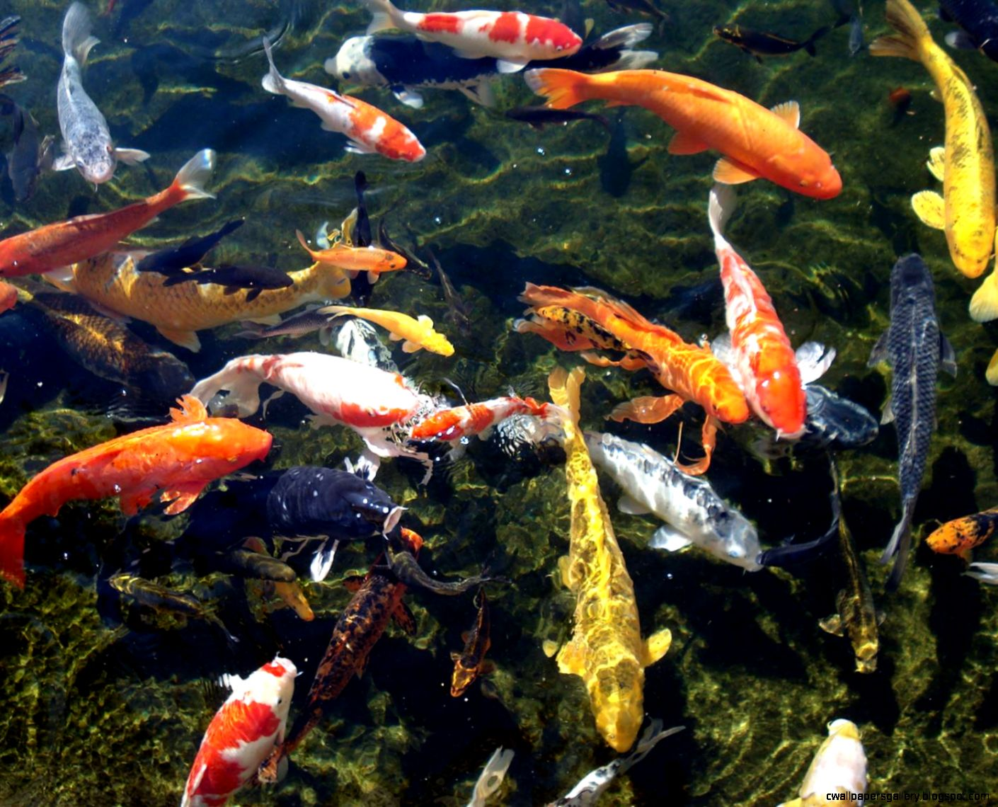 Koi fish wallpaper desktop wallpapers gallery for Fish pond images