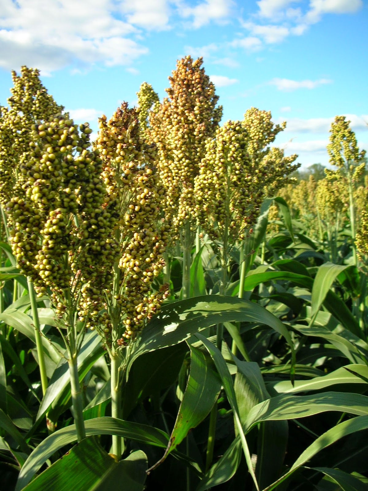 http://www.agprofessional.com/news/chinese-sorghum-demand-spurs-crop%E2%80%99s-growth-investment