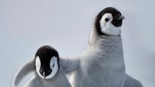 Pingüinos emperador bebé
