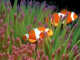Cá hề có khả năng thay đổi giới tính