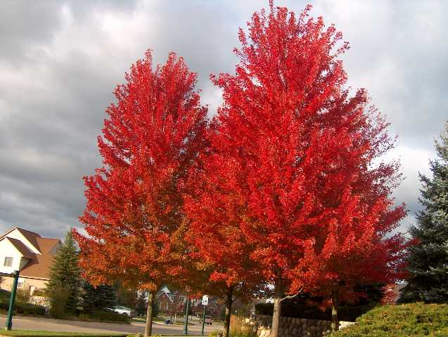 Autumn Blaze Maple For Sale3