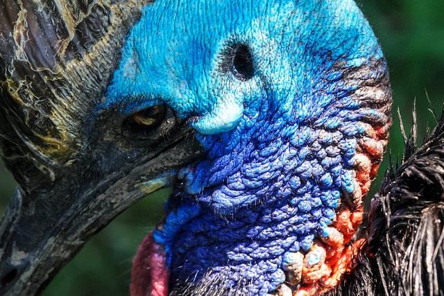 طائر الكاسواري أخطر طائر في العالم
