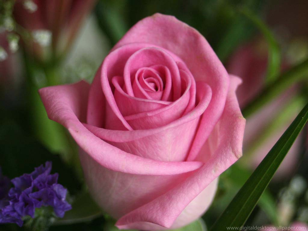 Beautiful Rose Flower Wallpaper Crack