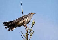 Dalam bahasa Inggris dikenal dengan nama  Mengenal Burung Kangkok Sulawesi